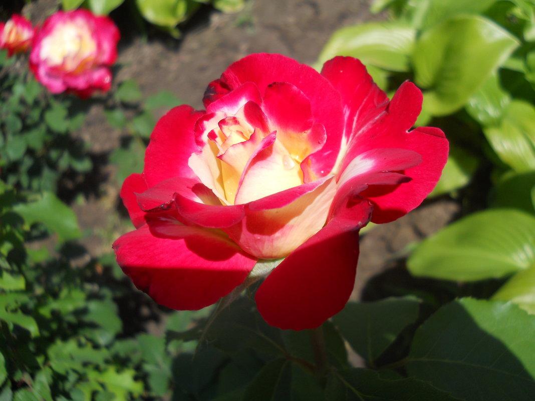 Первые розы мая. Великолепная. - Галина
