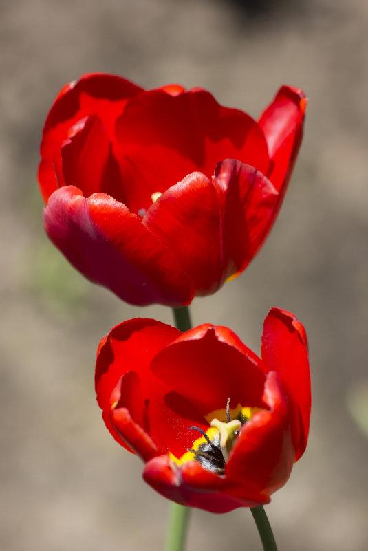Алые тюльпаны - Нина Кутина