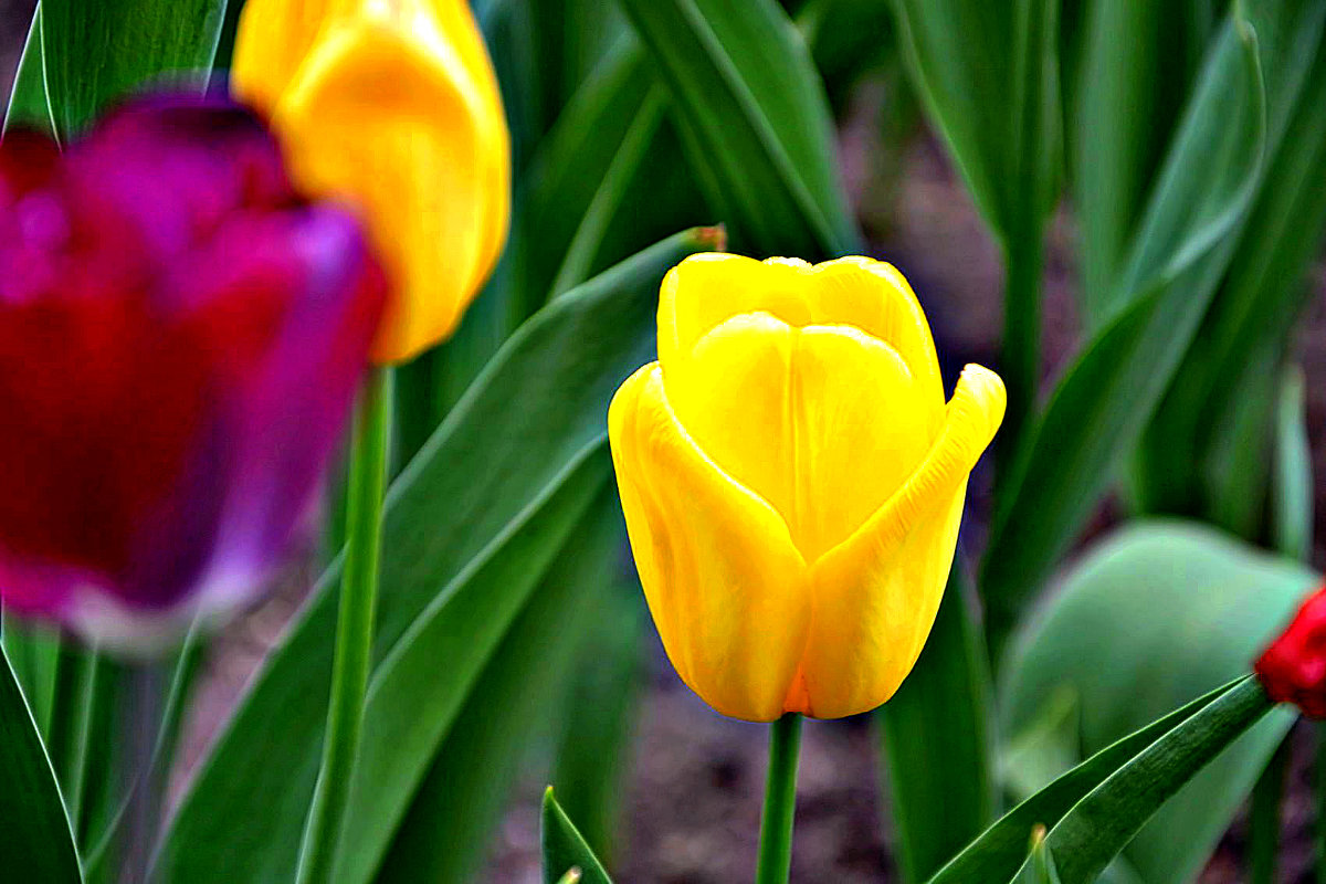 Желтые тюльпаны. - Михаил Столяров