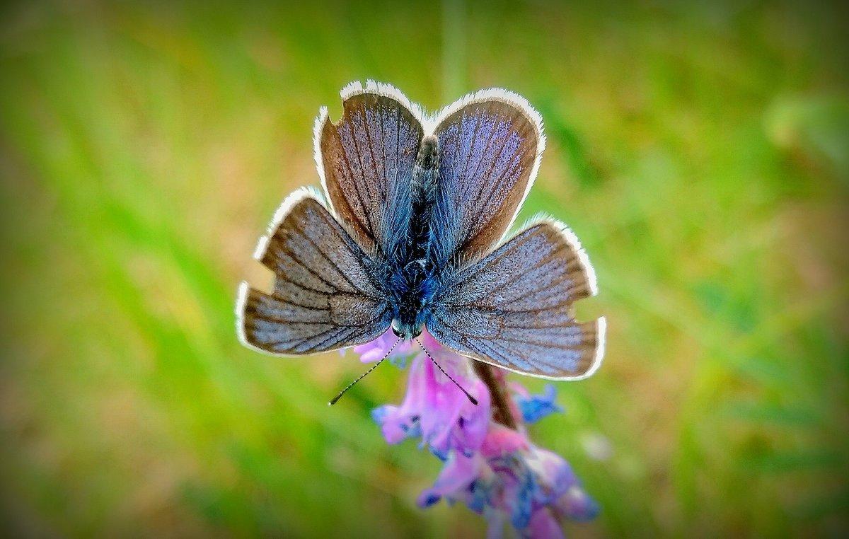 про бабочек - голубянка - Александр Прокудин