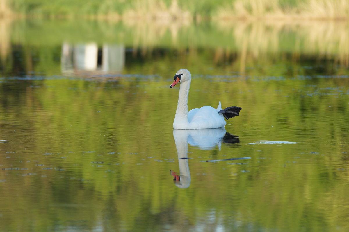 Лебедь в хорошем настроении на пруду биофабрики, п. Прогресс - Дина Дробина