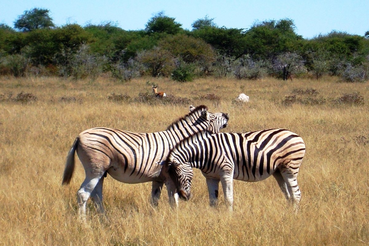 Национальный парк Этоша. Намибия - Tatiana Belyatskaya