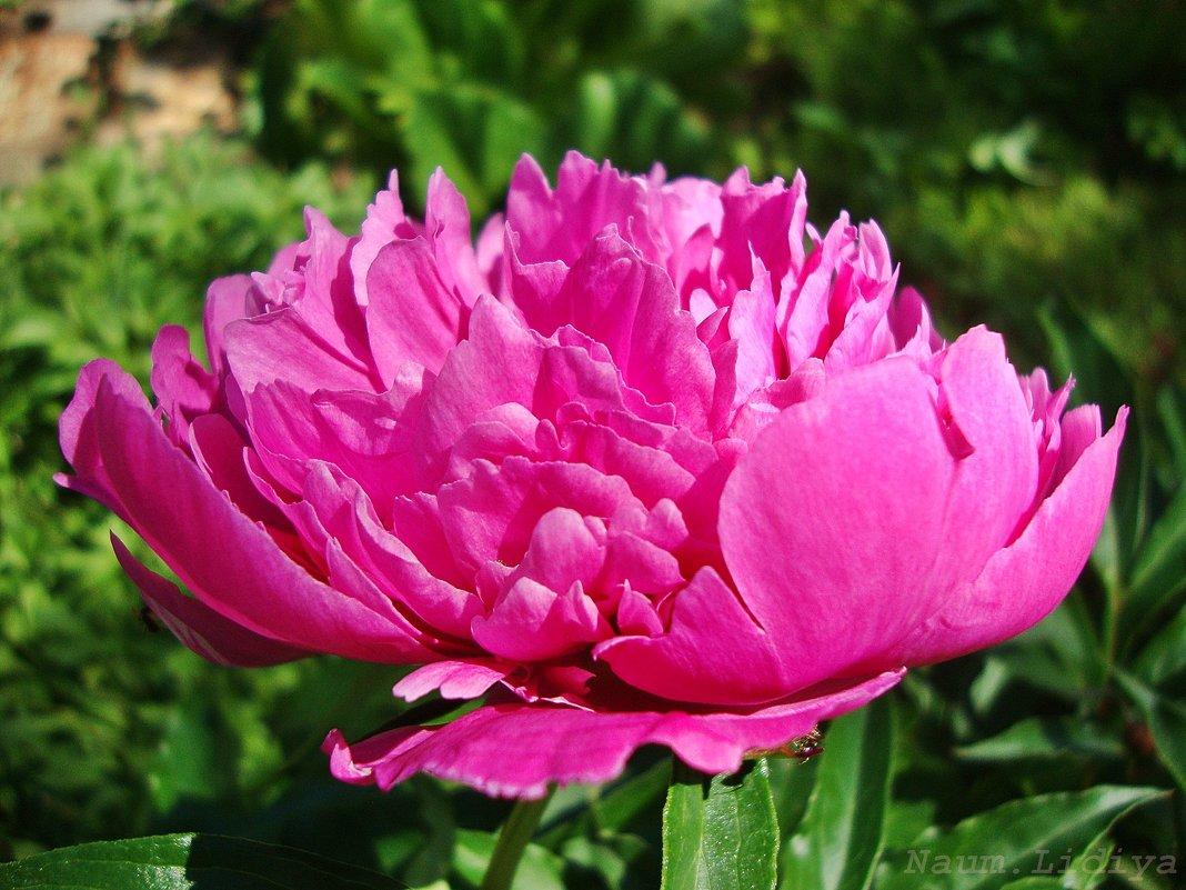 Время пионов.Розовый - Лидия (naum.lidiya)