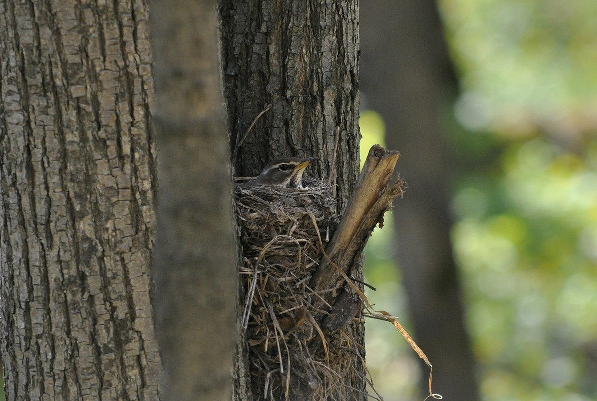 Гнездо белобрового дрозда. - Алексей .
