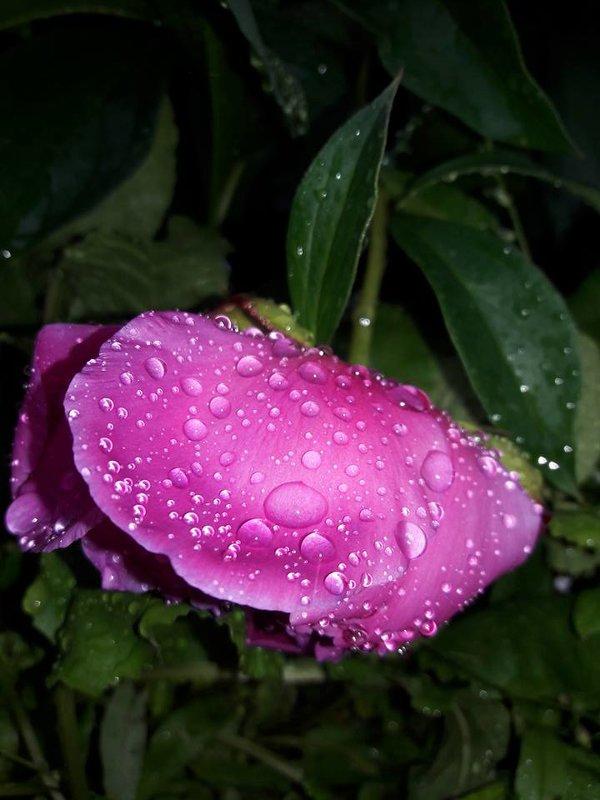 Пион после дождя - Яна Чепик