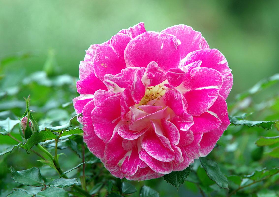 Розовая роза - Валерий Новиков