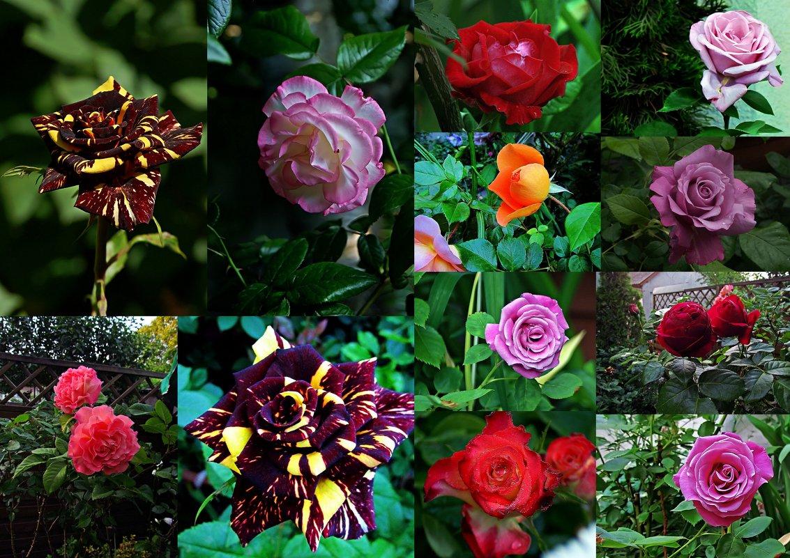 розы бывают разными... - Александр Корчемный