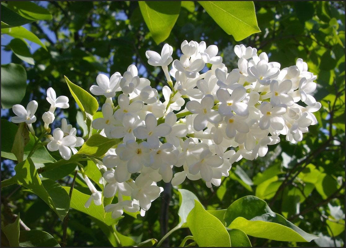 Белая сирень - lady v.ekaterina