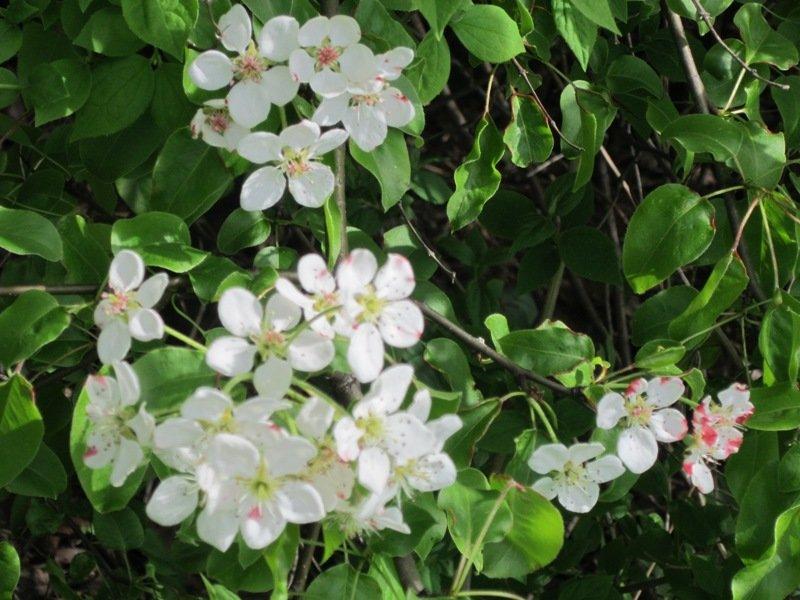 Яблоня в цвету - Дмитрий Никитин