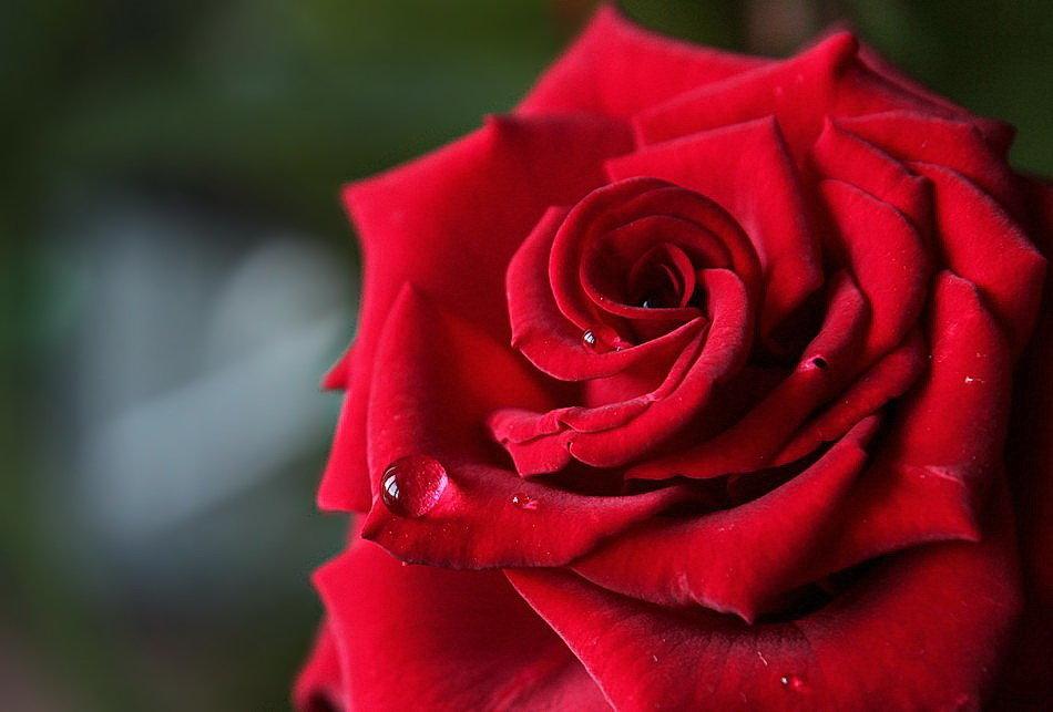 утренняя роза - leoligra