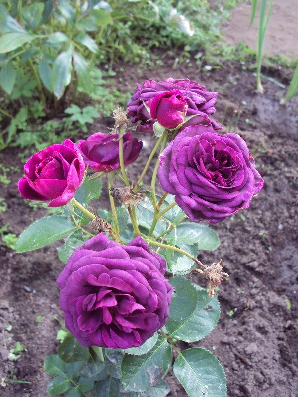 Мой сад - Елена