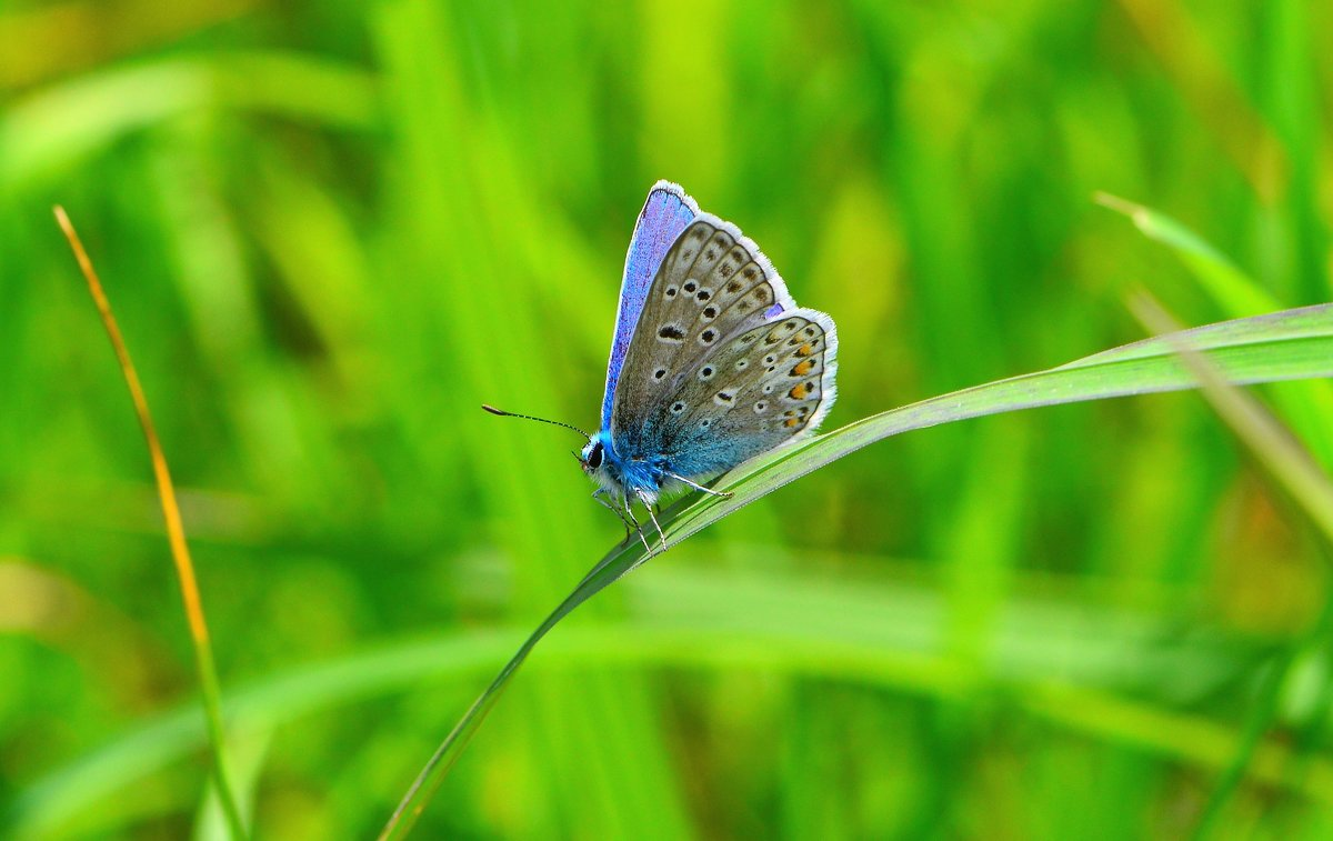 Бабочка голубяна - Константин Анисимов