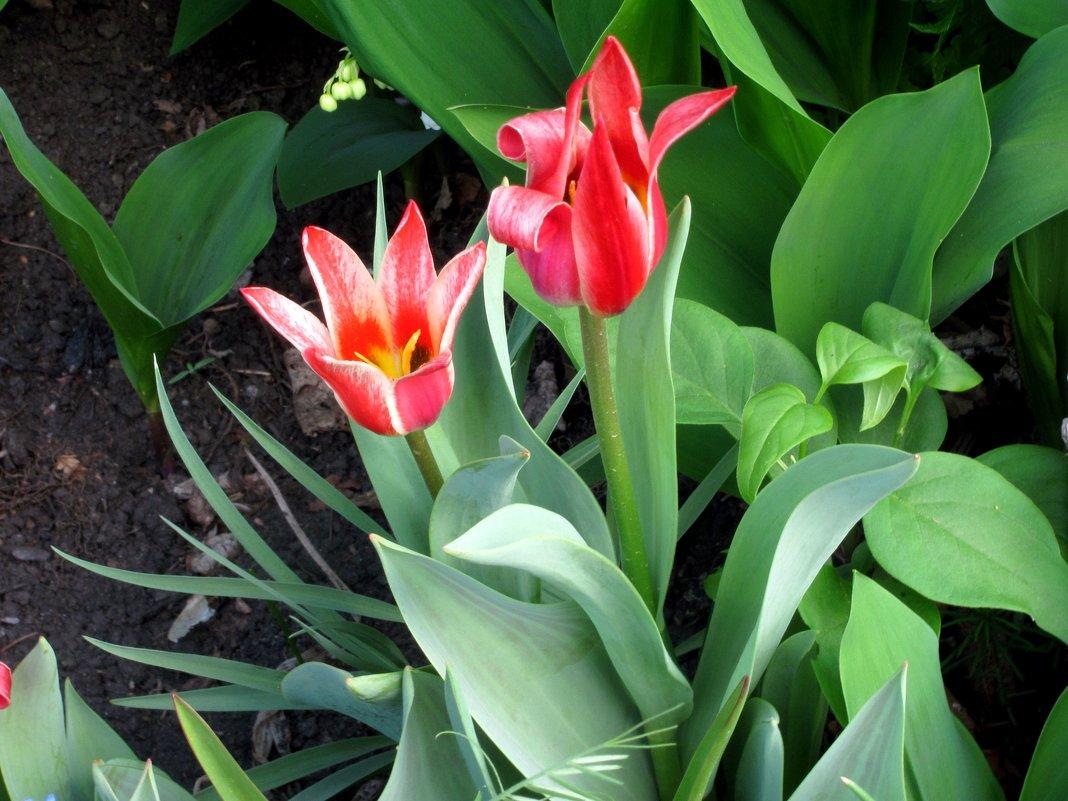 Тюльпаны - Лидия Суюрова