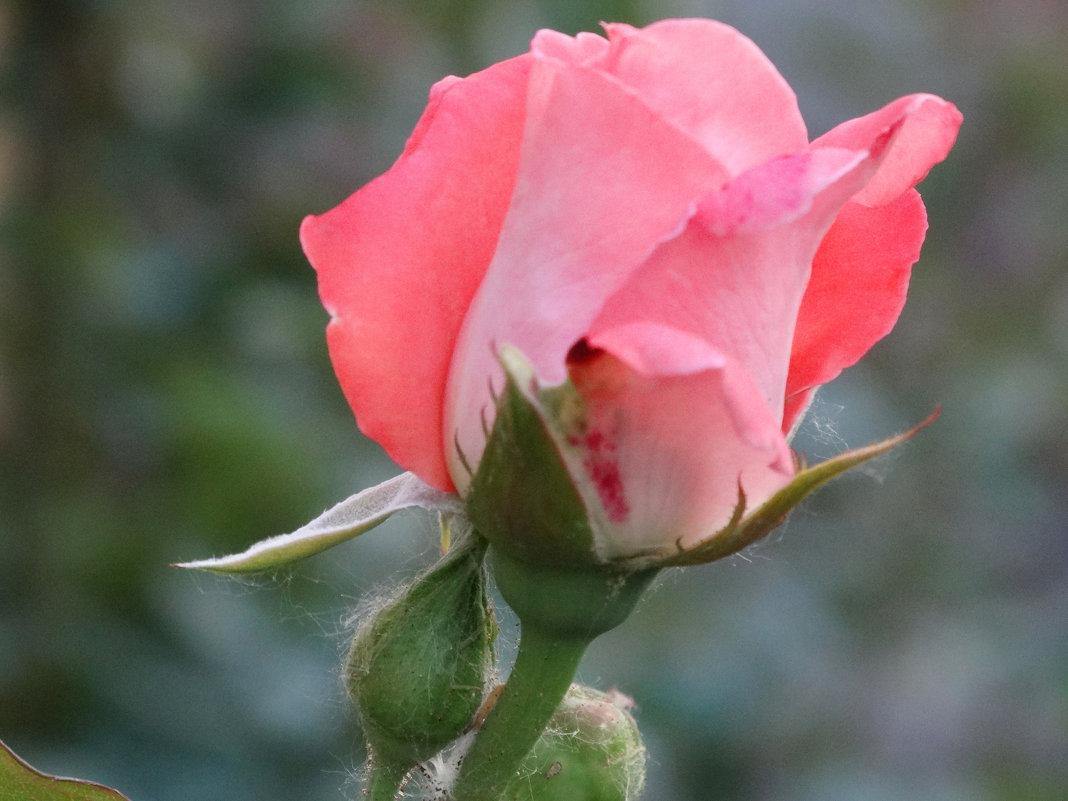 Май,вечер,роза...