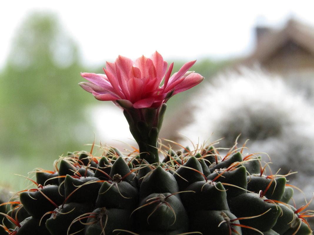 Лета нет, так хоть кактусы радуют..! - Vladimir Perminoff