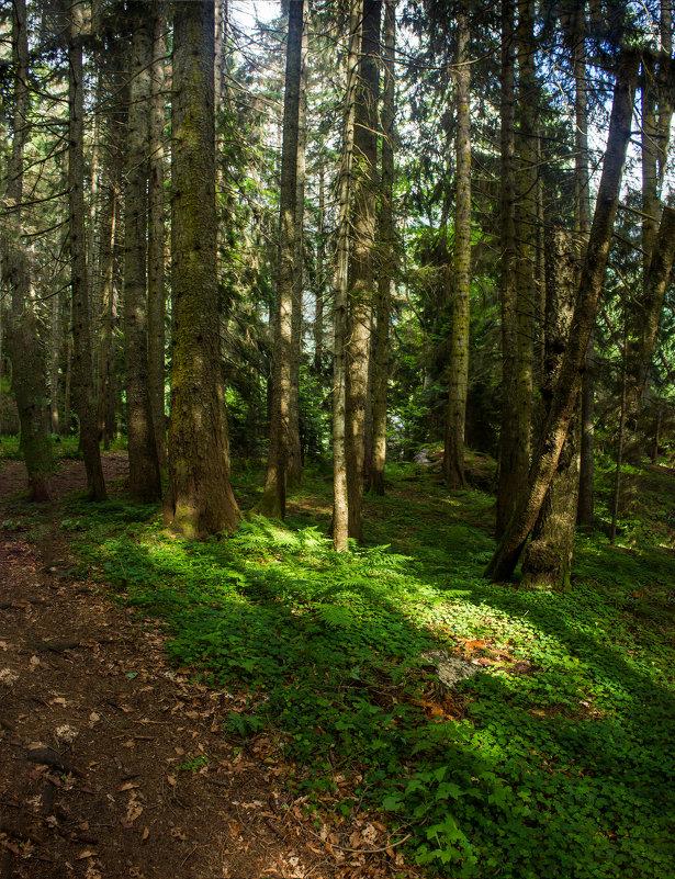 пихтовый лес IMG_9682 - Олег Петрушин