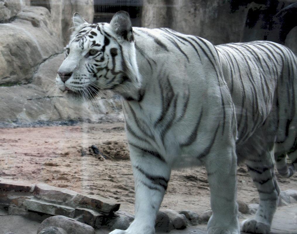 Бенгальский тигр-альбинос - Дмитрий Солоненко