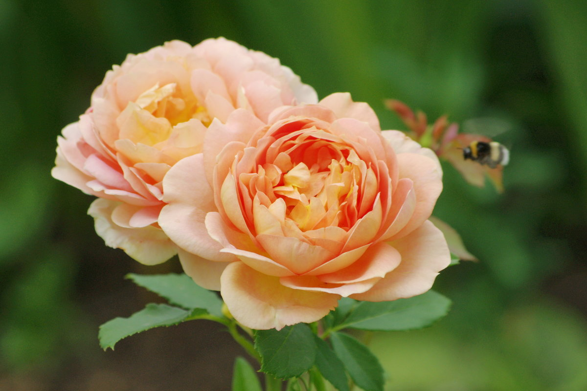 Просто роза.. - * vivat.b *