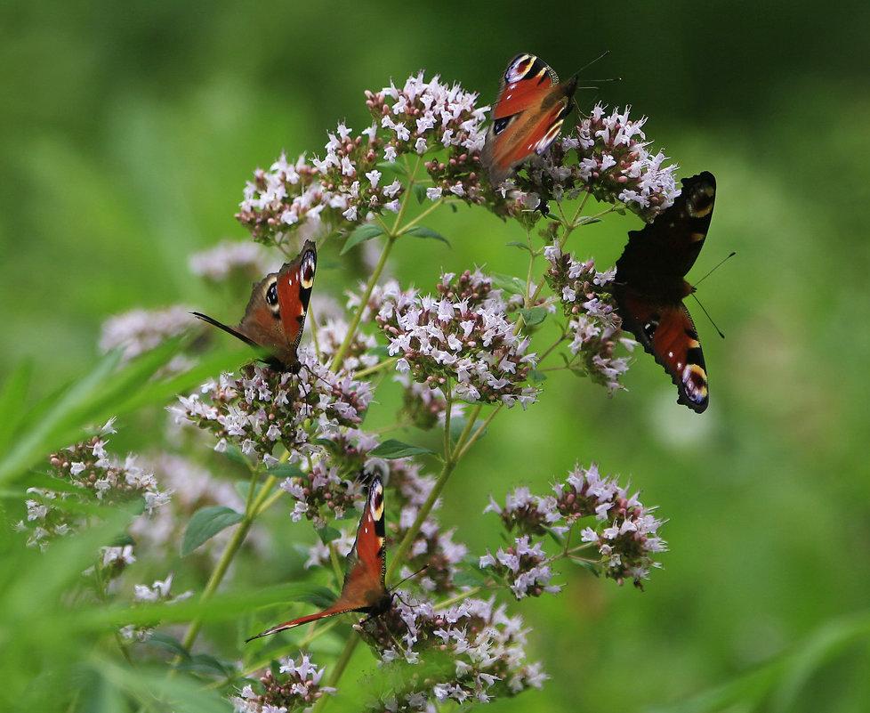 Бабочки - Lusi Almaz