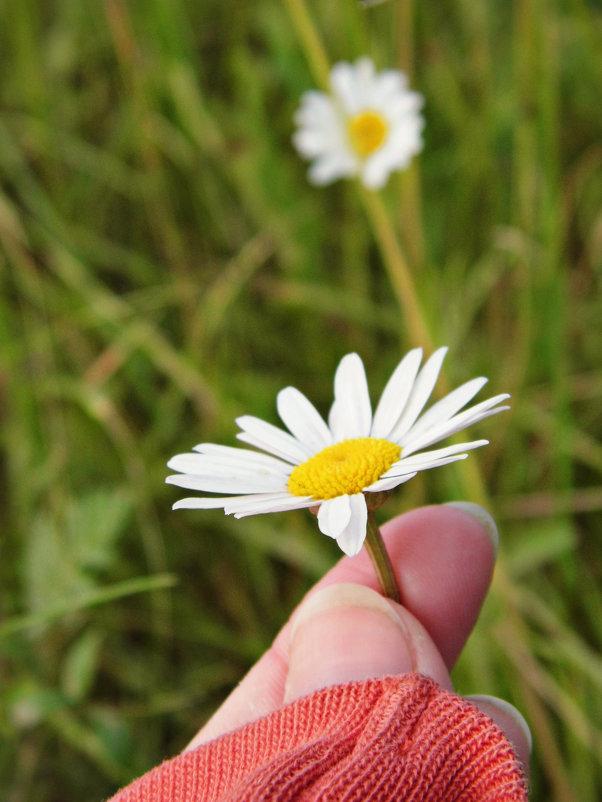 Цветок ромашка - Шура Еремеева