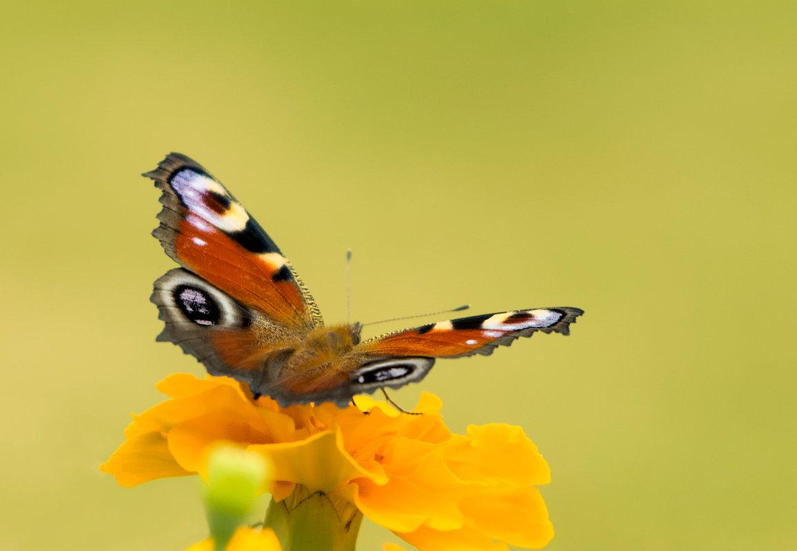 Лето - время бабочек - Олег Пученков
