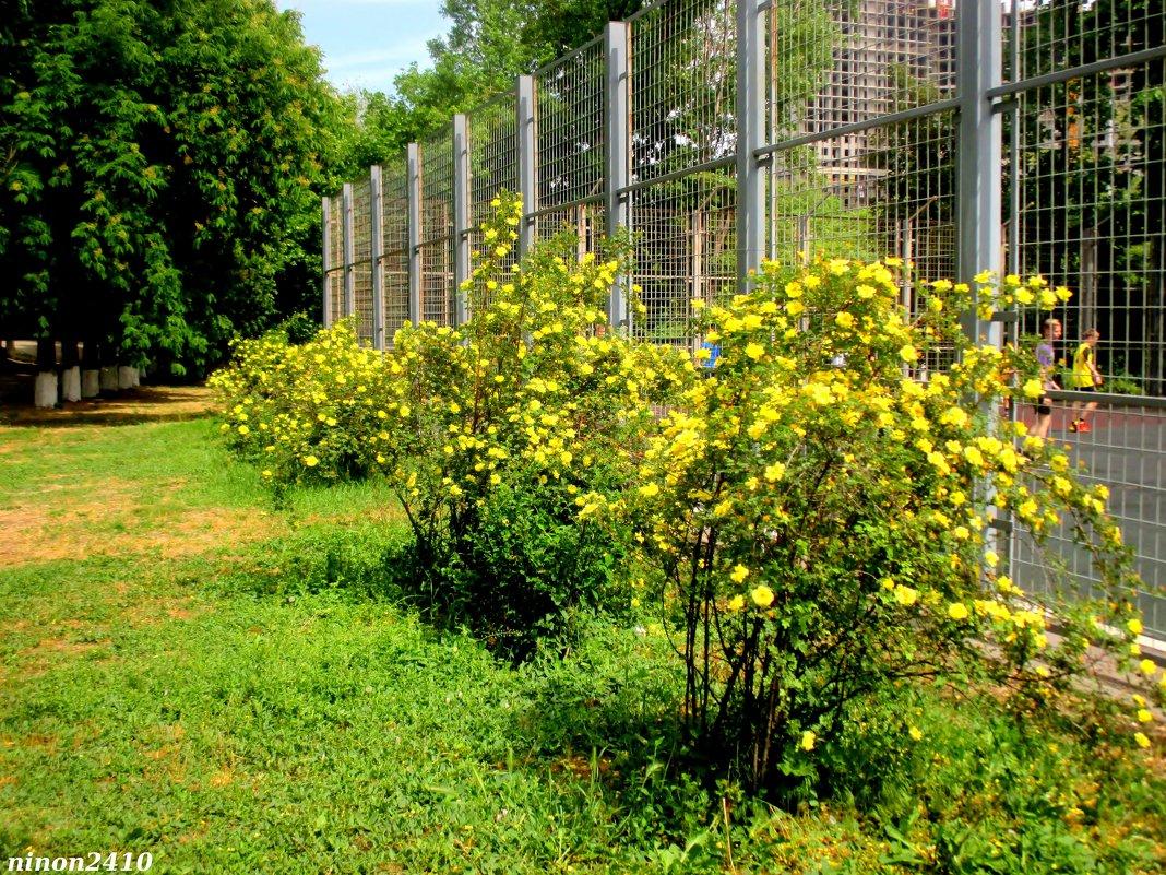 Жёлтые розы - Нина Бутко