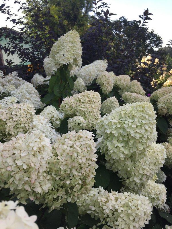 Гортензии цветут - minchanka