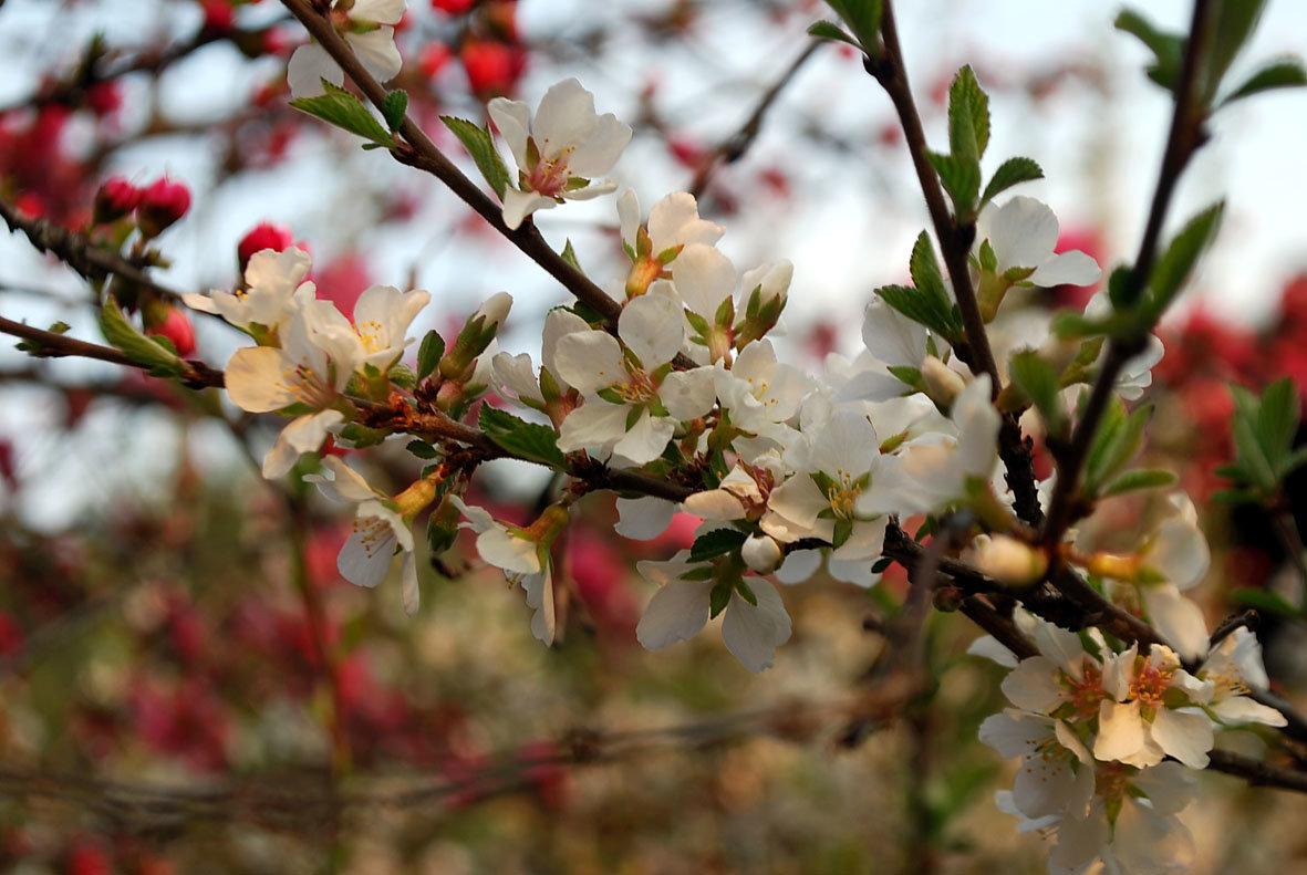 один раз в год сады цветут... - nataly-teplyakov