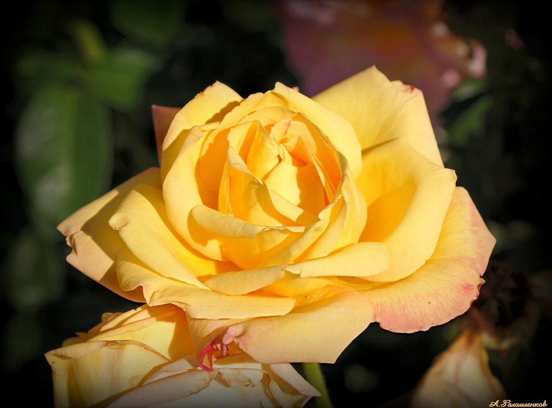 Золотится роза чайная... - Андрей Заломленков