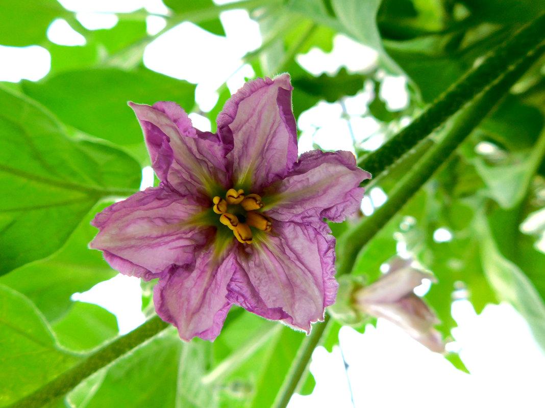 Цветок баклажана - Анастасия Рысь