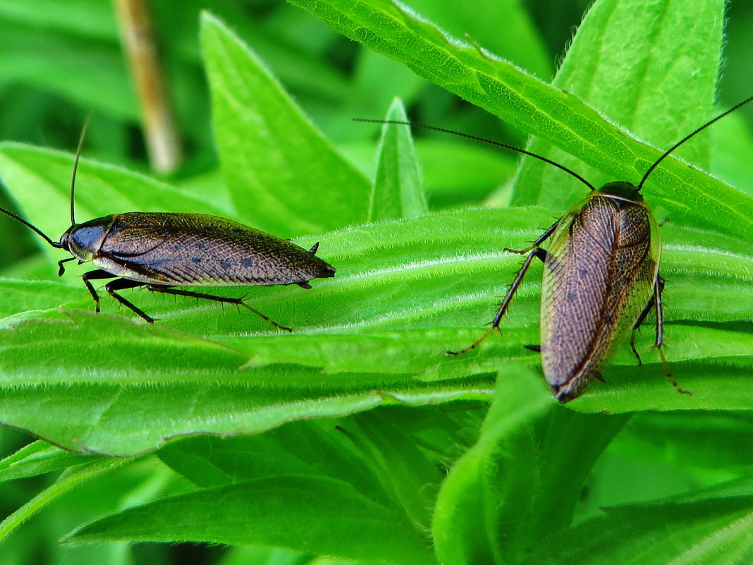 Таракан лапландский[1] (лат. Ectobius lapponicus - vodonos241