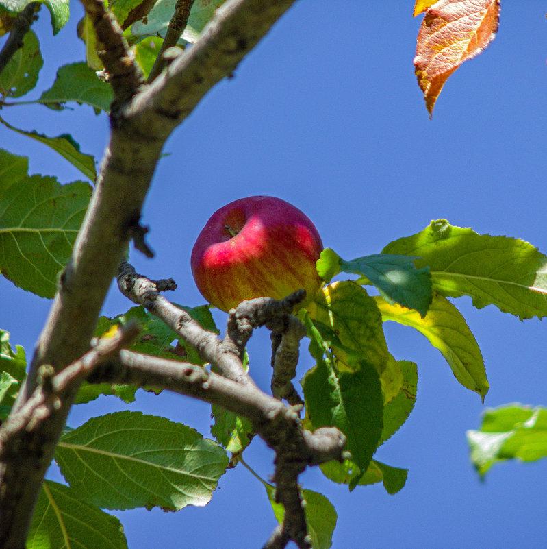 Лесное яблочко - Варвара