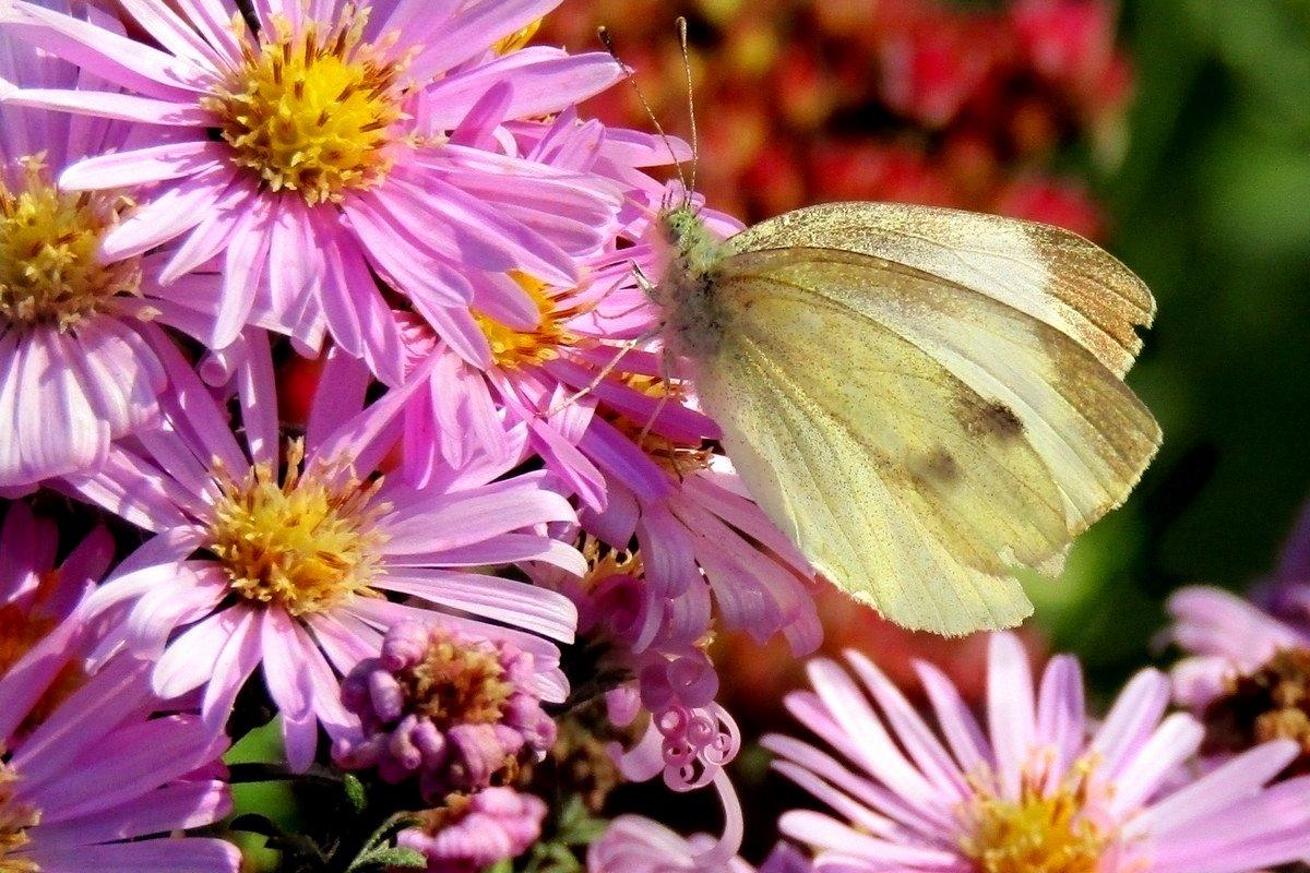 бабочка,  цветок,  осень. - IVANA