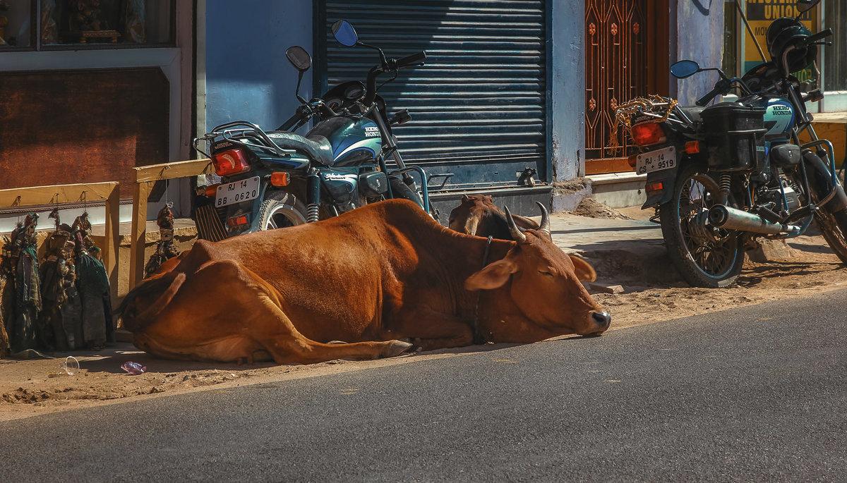 Священное животное... Джайпур.Индия! - Александр Вивчарик