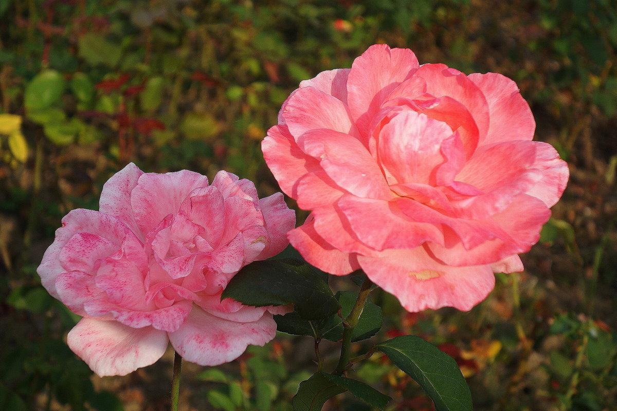 Розы - Маргарита Батырева