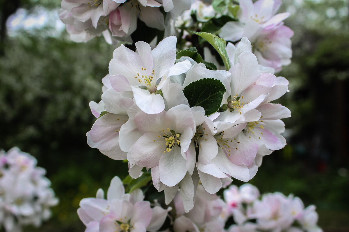 Цвет колоновидной яблони. - Надежда
