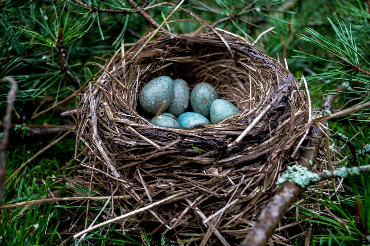 Гнездо дрозда - Alexandra