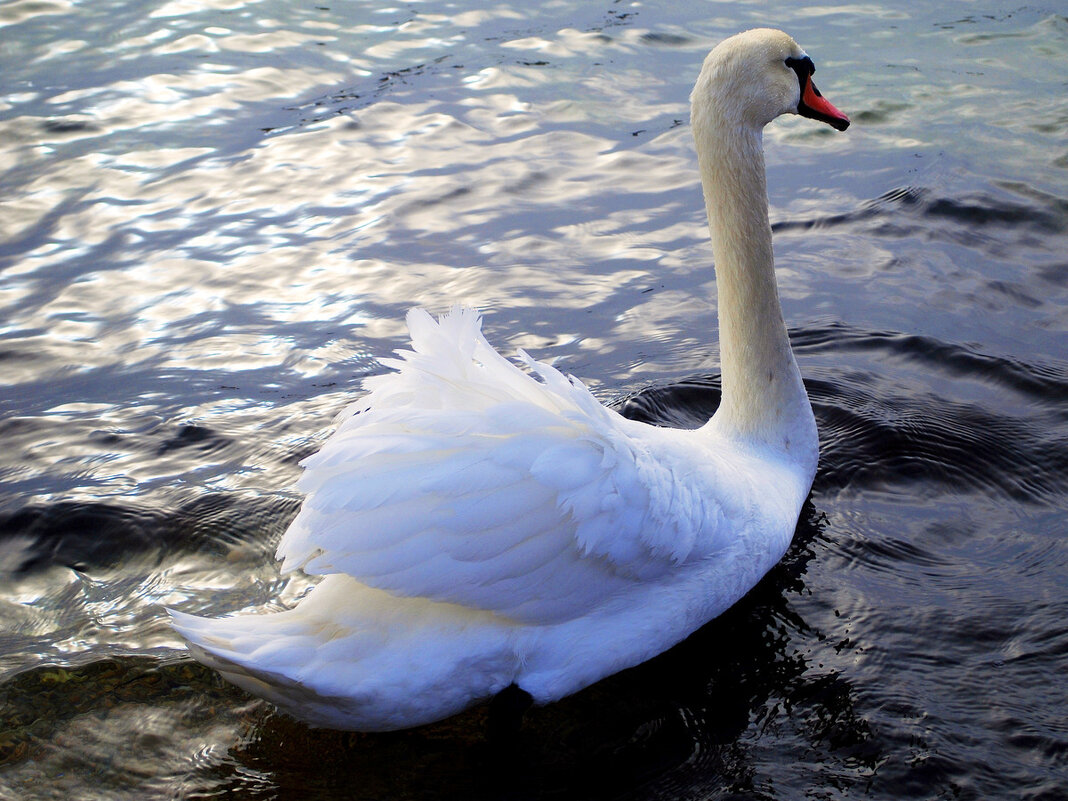 Лебедь белый - Ольга (crim41evp)