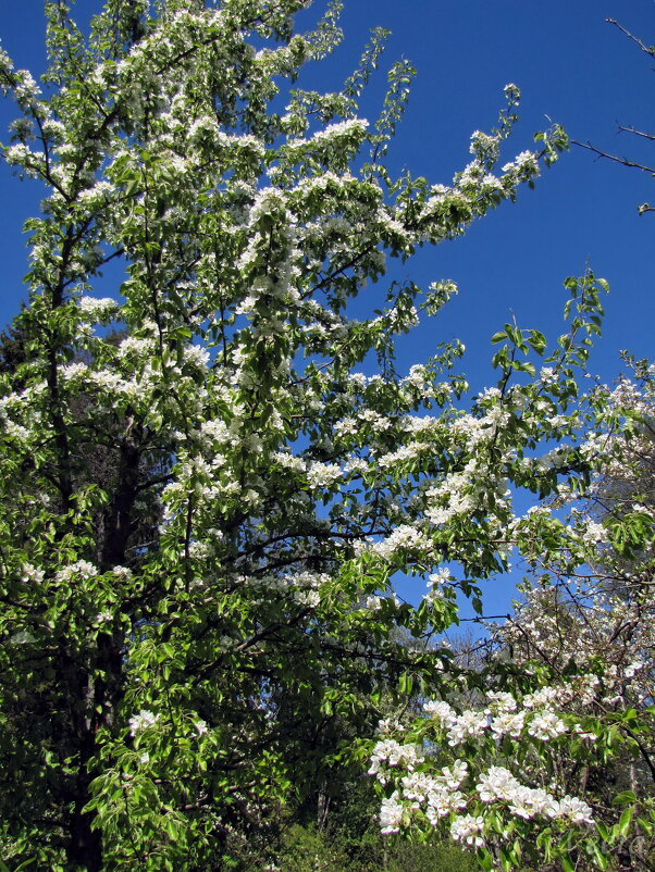 Расцветали яблони и груши - veera (veerra)
