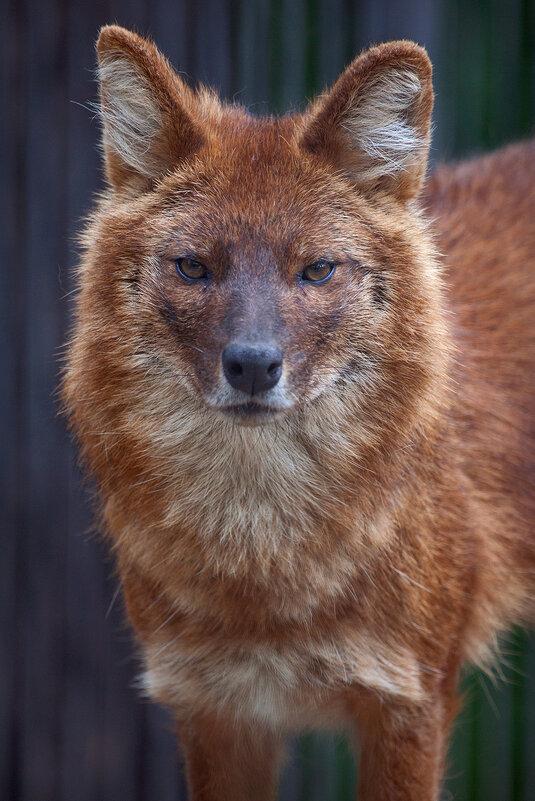 Красный волк - Владимир Габов
