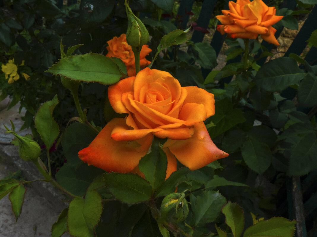 Оранжевая роза - Валентин Семчишин