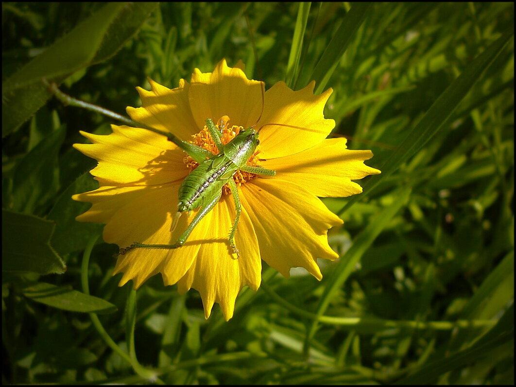 Tettigoniidae - dana smirnova