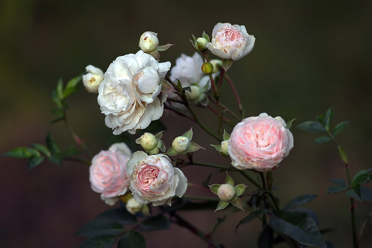 И снова о розах ...! - Анатолий Святой