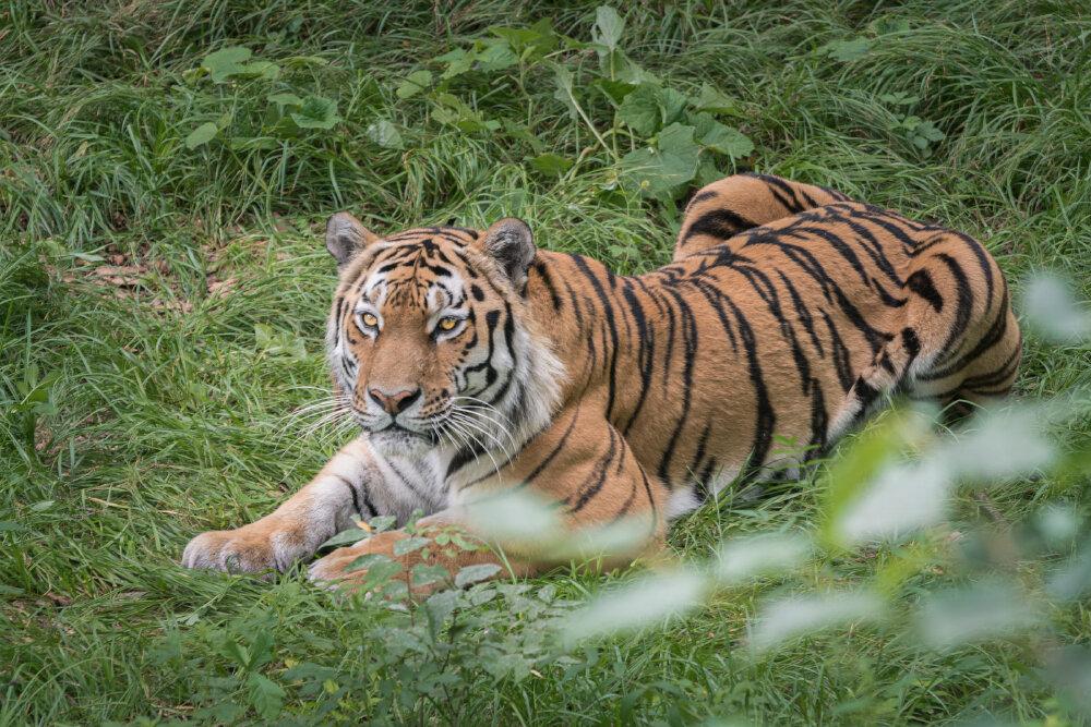 Амурский тигр - Евгений Кучеренко