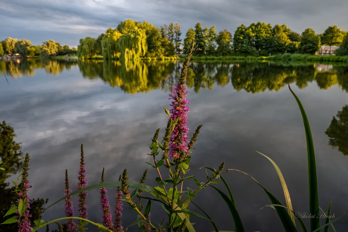 Дербенник на фоне озера - Николай Гирш