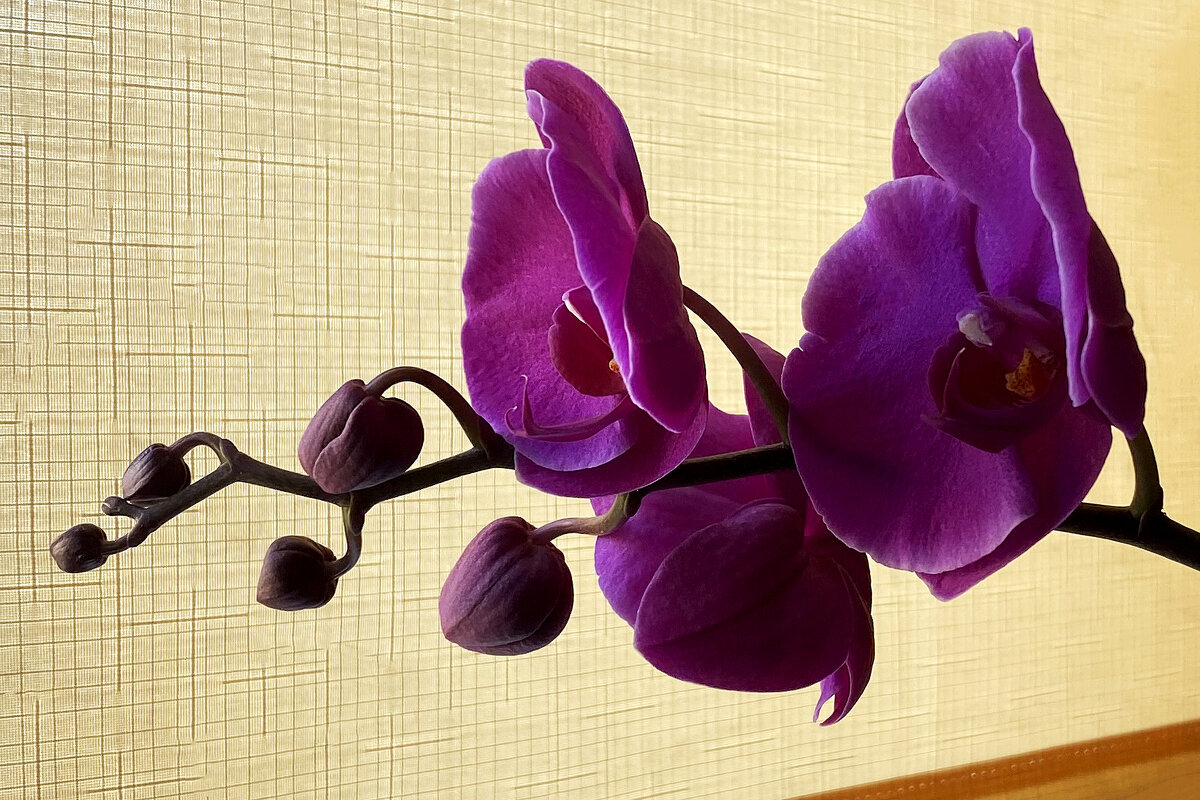 Орхидея юбилейная. - Sergii Ruban