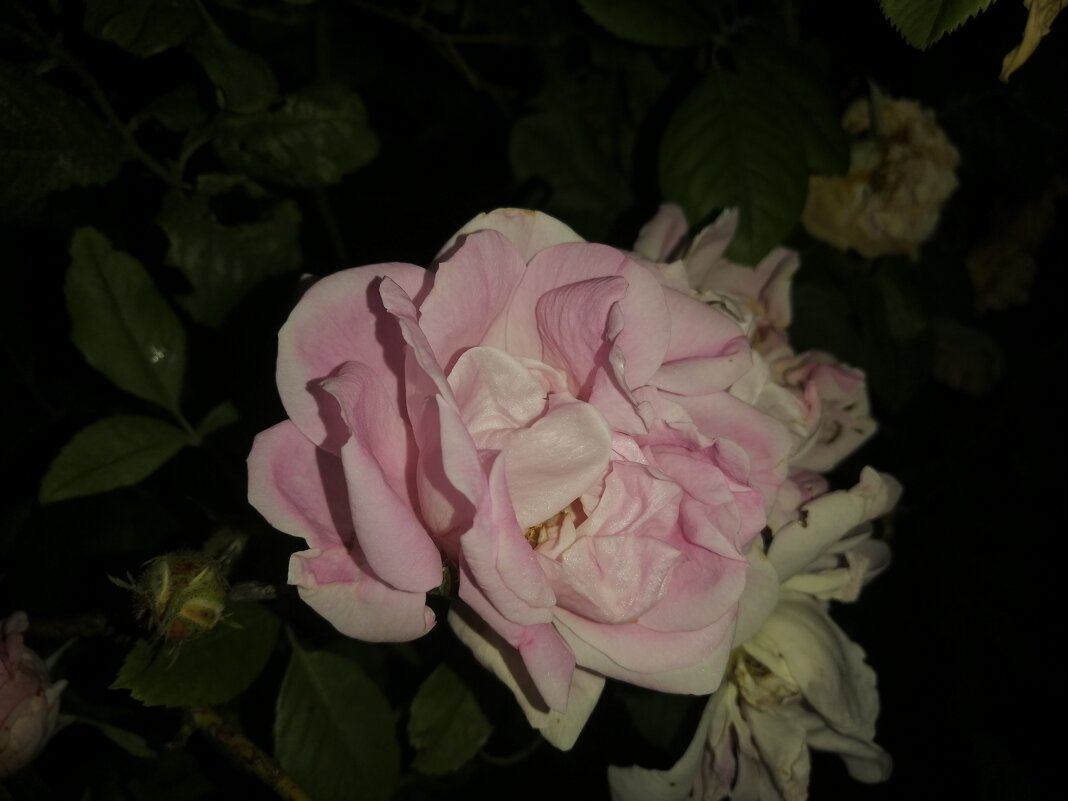 Роза ночью - Митя Дмитрий Митя