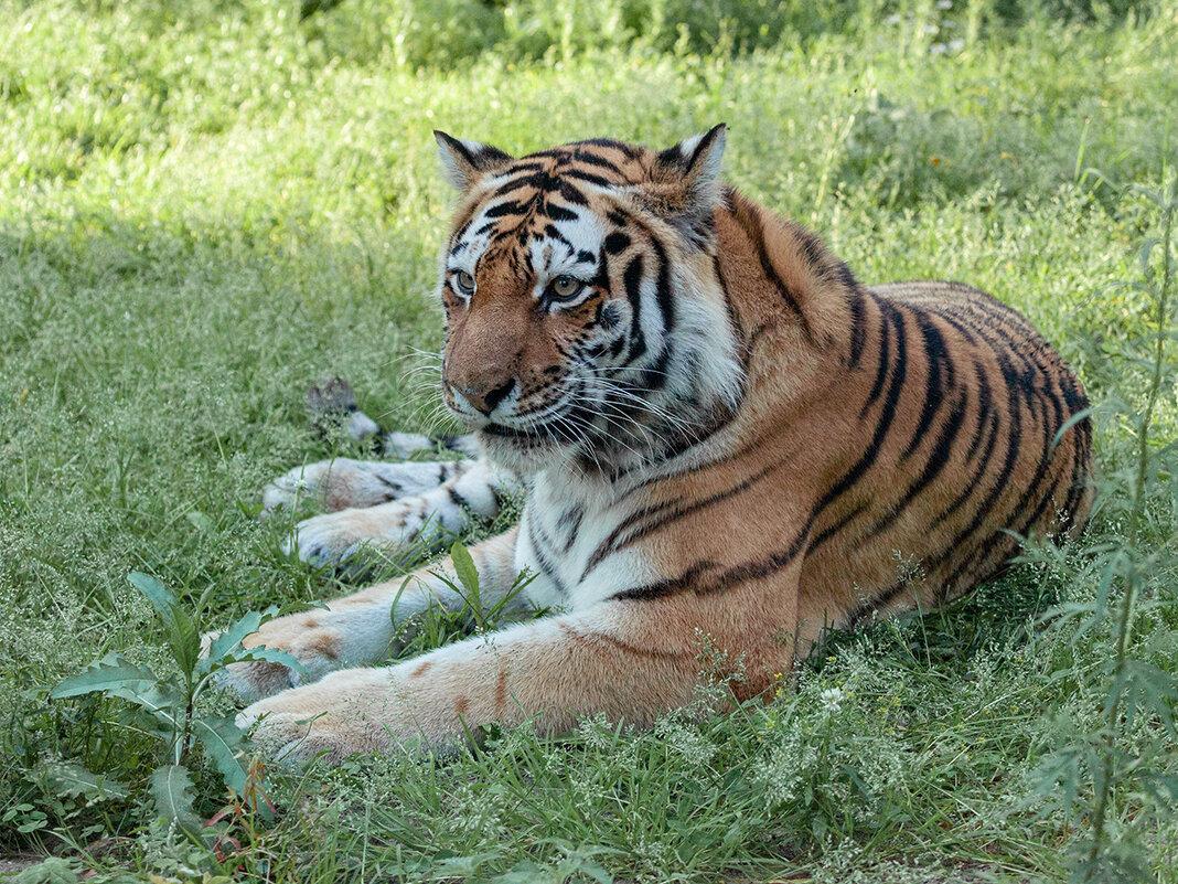 Амурский тигр. - Владимир Габов