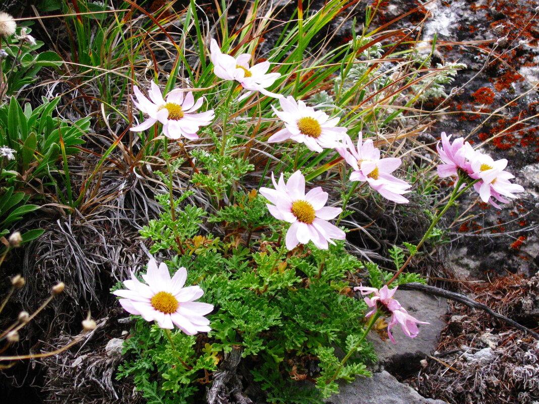 Нежные цветочки в горах - Галина