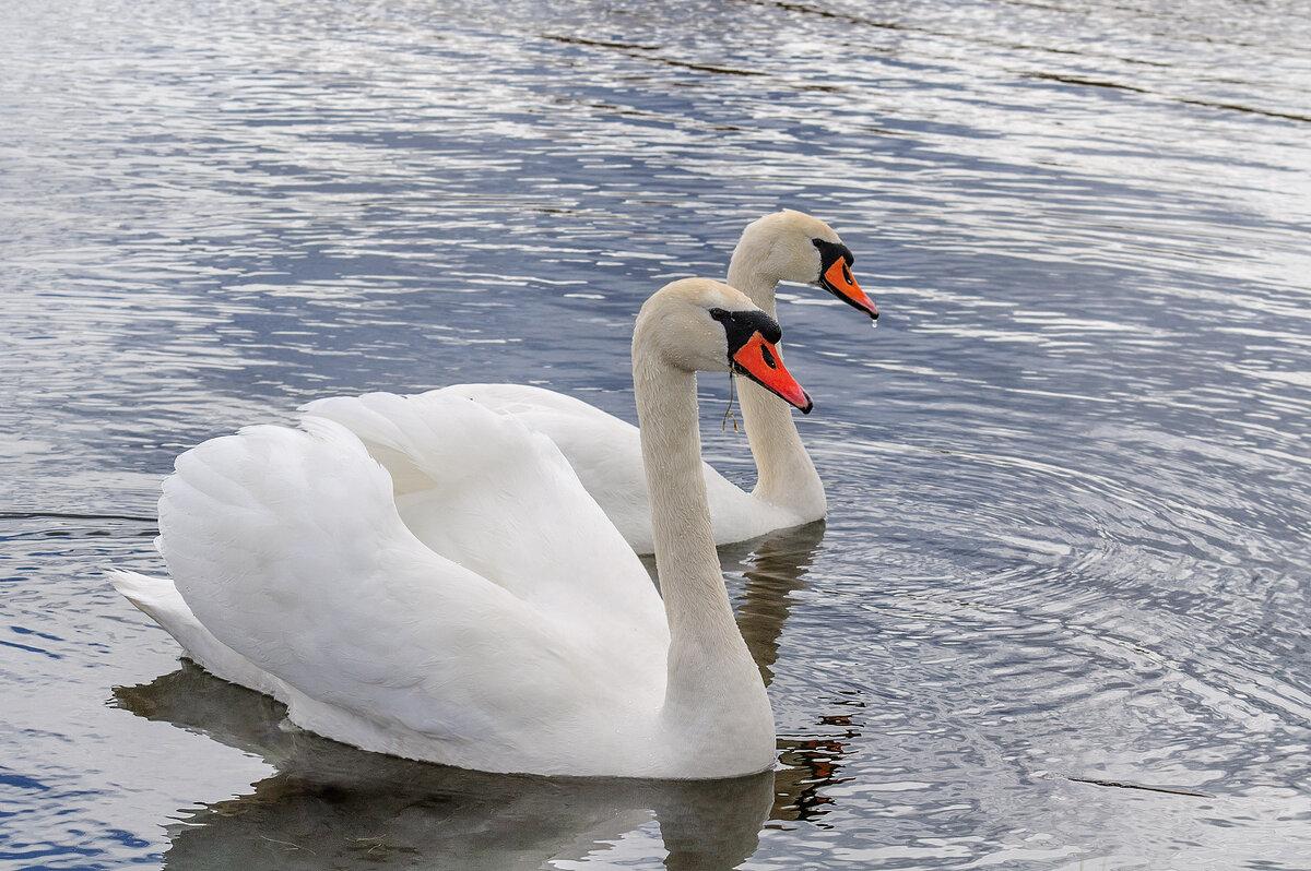 Лебедь с лебёдушкой - Анатолий Клепешнёв